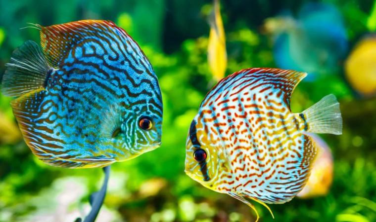 6 Cara Merawat Ikan Discus yang Cantik Untuk Pemula