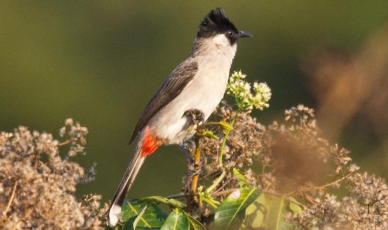 5 Cara Menjinakkan Burung Kutilang Supaya Cepat Bisa Dilatih