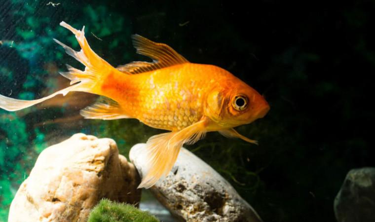 Kenali Ciri-Ciri Ikan Stres, Penyebab dan Cara Mengatasinya