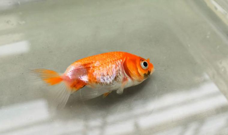 Apa Saja Penyebab Ikan Hias Mati di Akuarium? Yuk Simak Ulasannya