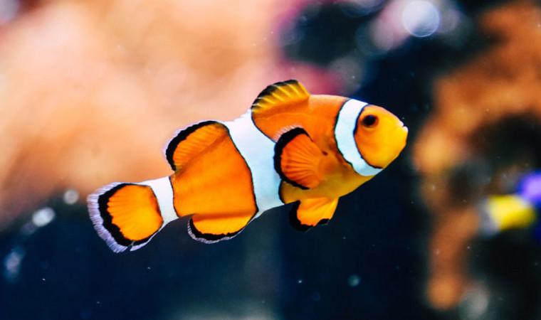 Mengenal Beberapa Jenis Makanan Ikan Nemo Air Tawar dan Air Laut