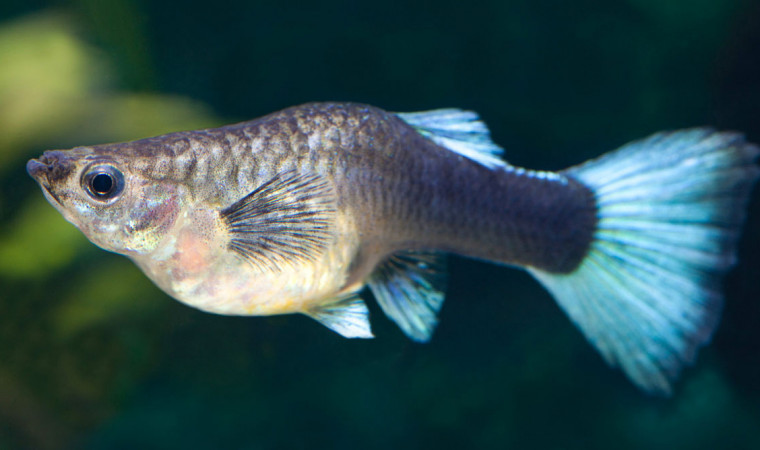 5 Ciri-Ciri Ikan Guppy Hamil Yang Wajib Kamu Ketahui