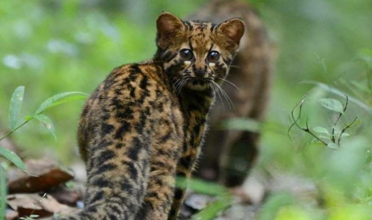 Ciri-ciri Kucing Hutan, Jenis dan Cara Merawatnya