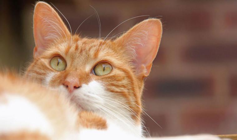 Calicivirus Pada Kucing: Penyebab, Gejala, dan Cara Mengobati