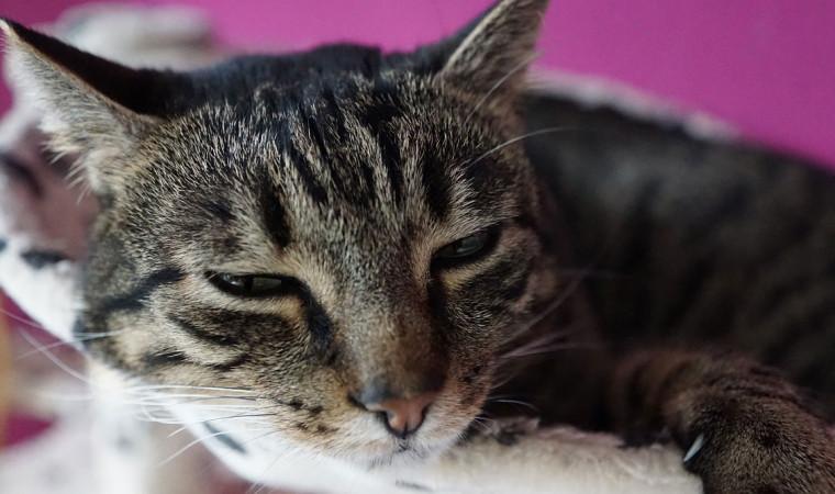Berbagai Cara Mengetahui Kucing Demam, Penyebab dan Cara Merawatnya