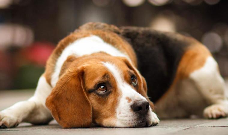 7 Cara Mengobati Anjing Muntah Paling Ampuh Beserta Penyebabnya