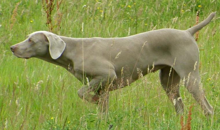 Awas! Ini Deretan Jenis Anjing Pemburu Terbaik di Dunia yang Pernah Ada