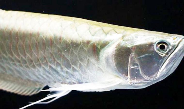 Begini Cara Merawat Ikan Arwana Agar Warna Bagus dan Umur Panjang