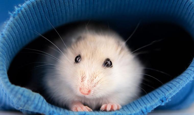 Pasti Akurat! 7 Cara Membedakan Hamster Jantan dan Betina Tanpa Alat