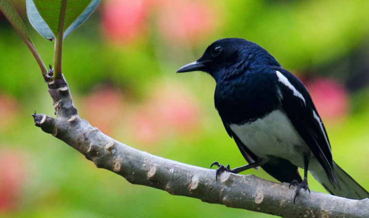 Mudah Banget! 10 Cara Menjinakkan Burung Kacer Peliharaan Kamu
