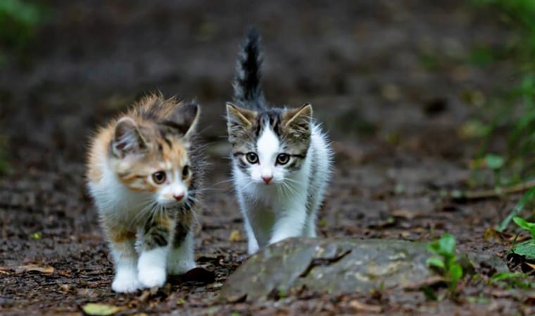 Cara Merawat dan Membesarkan Anak Kucing yang Ditinggal Induknya