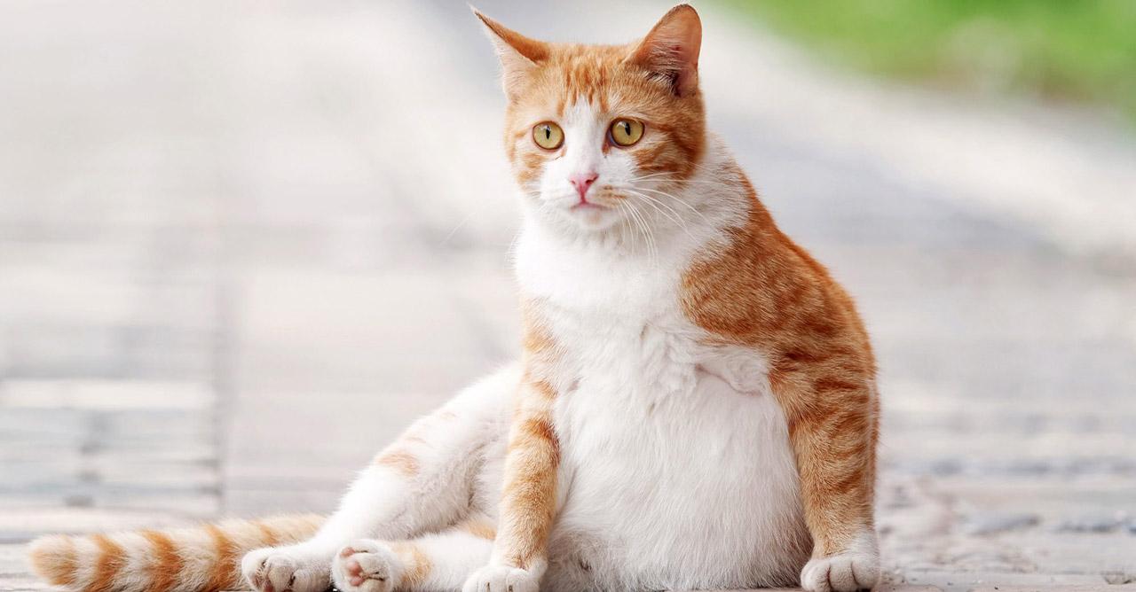 Cara Merawat Kucing Hamil Dengan 7 Langkah Tempat Pintarpet