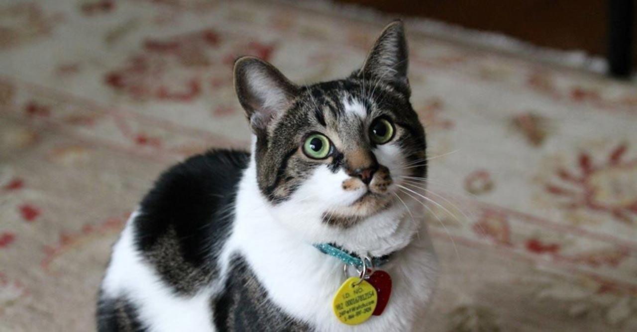 7 Tips Merawat Kucing Kampung Agar Bulunya Lebat Dan Gemuk Pintarpet