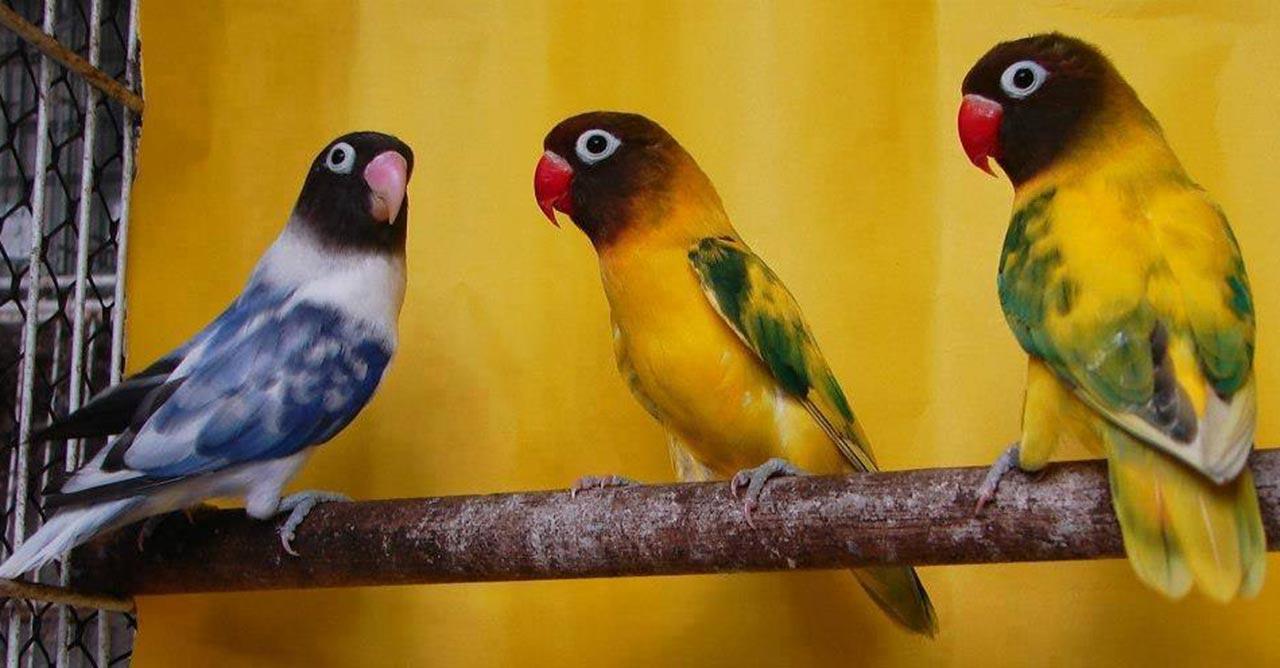 4 Ciri Ciri Lovebird Sakit Dan Cara Mengatasinya Pintarpet