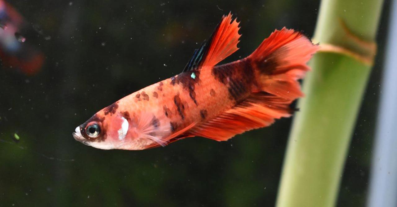 10 Ciri Ciri Ikan Cupang Betina Dari Fisik Tingkah Lakunya Pintarpet