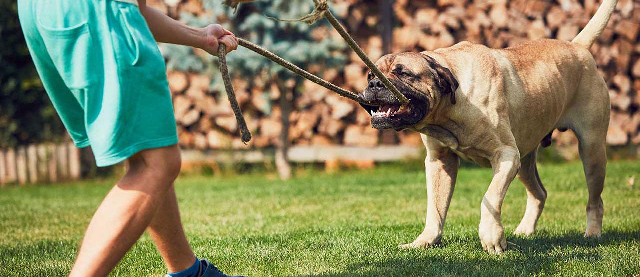 8 Jenis Anjing Penjaga Kuat Dan Aman Dipelihara Pintarpet
