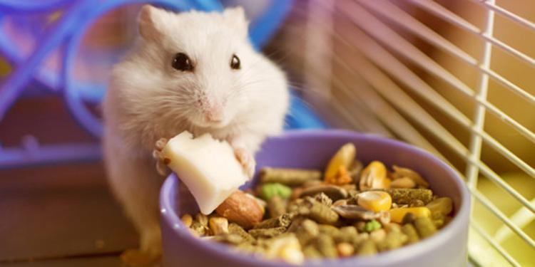 10 Cara Merawat Hamster Agar Sehat Tidak Mati Bagi Pemula Pintarpet