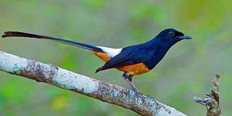 5 Perbedaan Burung Murai Batu Jantan Dan Betina Pintarpet